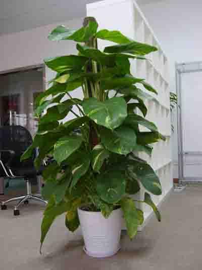 办公室摆放的绿植为什么容易枯萎