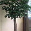 靖江幸福树