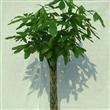 靖江发财树